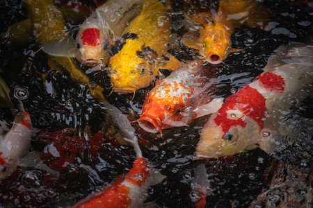 Colorful koi fish in the fish pond, Crayfish