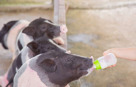 Cute baby black-pink pigs are feeding milk through baby bottle in clean farm in rural area. Selective focus with blur background shot shows close-up detail of happy livestock with friendship. Stok Fotoğraf
