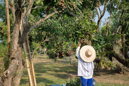 Female thai gardener is picking the sweet longan fruit in a big trees in the organic garden for selling. She wears hat and cloth to protect her skin from the sunlight in the summer.