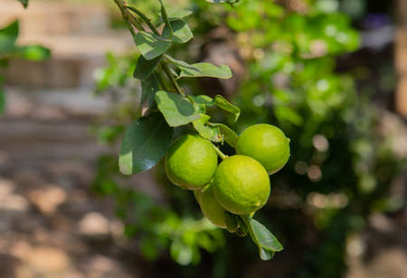Close up shot of fresh, bright green with yellowish lemon (or lime) on the branch of tree in the organic rural garden in the northern Thailand. Fruit is ripe and ready to harvest for selling. Stockfoto