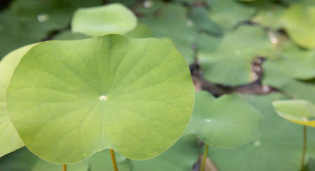 Close up shot with selective focus, blurred background and copy space of beautiful and bright lotus leaf on the pond shows the detail texture of the nature. It looks calm, comfortable and loneliness.