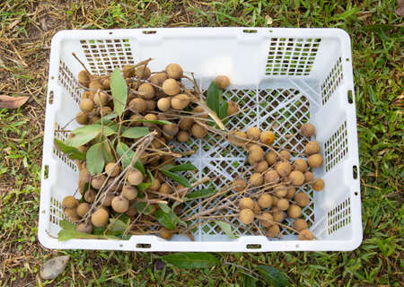 Fresh longan fruit (tropical delicious fruit) was picked in the organic garden in the rural area in northern Thailand, and put in white plastic box (or basket) where was on green grass for selling.