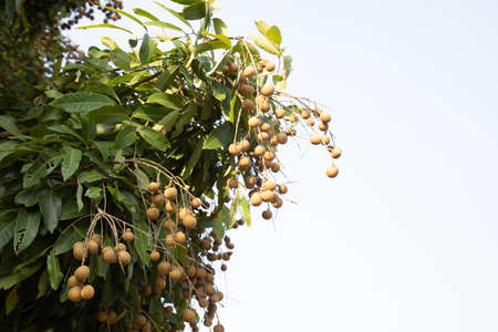 Longan tree in organic garden in rural area of the northern part of thailand with mature and sweet fruits with brown color for harvesting and selling was taken in close up shot with blue clear sky. Stockfoto