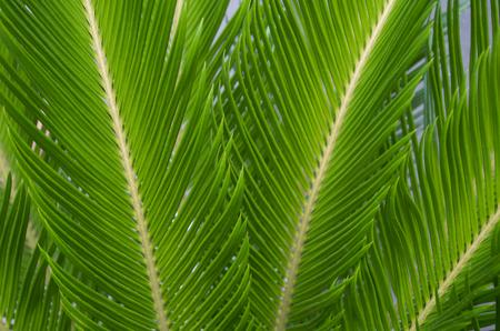 cycas: Sago palm leaves Stock Photo