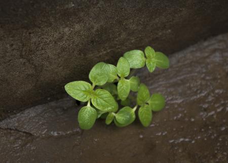 germinaci�n: Las grietas en la supervivencia, la germinaci�n, la vitalidad tenaz Foto de archivo