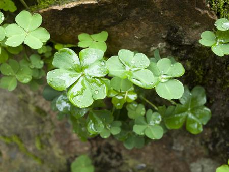 Wet clover Stock Photo