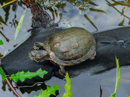 Turtle crawling out of the water