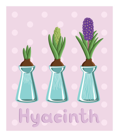 hyacinths: Set with three hyacinths in vases: bulb, bud, flower. For postcards, prints, posters, background, textiles