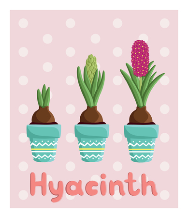 Set with three hyacinths in pots: bulb, bud, flower. For postcards, prints, posters, background, textiles