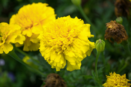 Bunch of yellow flowers in the grass and a bud with a spider web Stock Photo