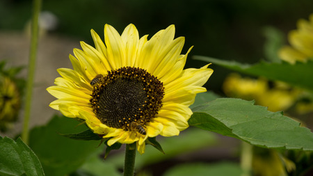 Sunflower with huge green leaves and two bees working hard