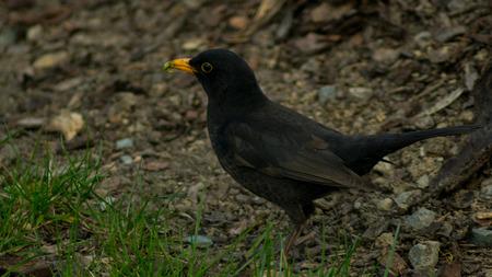 Blackbird in the grass fielding earthworms