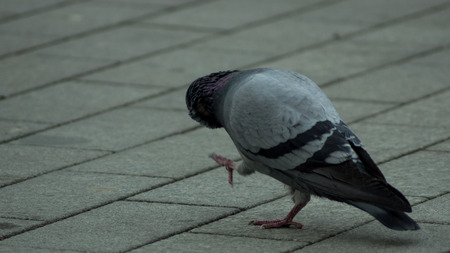 Pigeon walking on the street