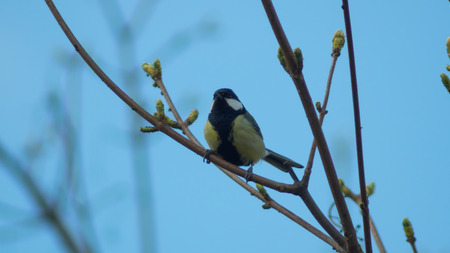 Titmouse sitting on the tree branch singing