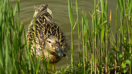 Female duck swimming in the pond towards the grassy bank Stock Photo