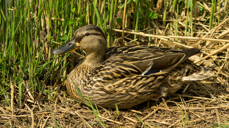 observing: Wild duck sitting in the grass observing the others Stock Photo