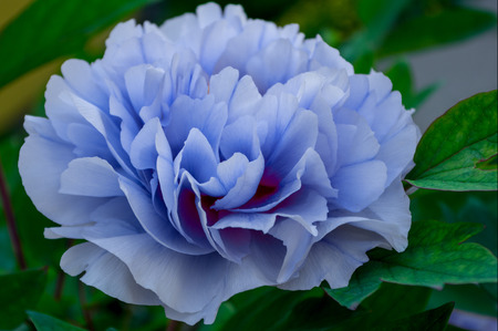 Single peony in the garden Stock Photo