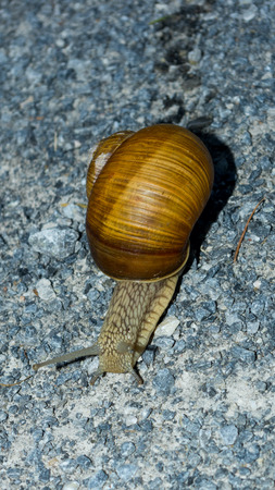 Snail running across the forest road front view