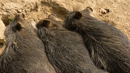 Three wild pigs sleeping next to each other Stock Photo