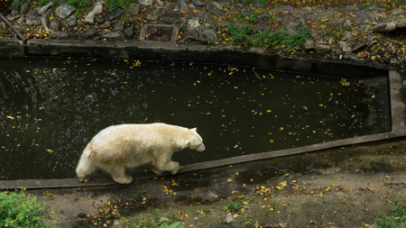 Ice bear walking on the edge of the pool Stock Photo