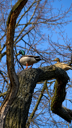Wild ducks sitting on the tree