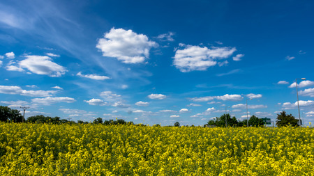 oilseed: Clouds over the field of oilseed rape