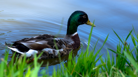 Wild male duck swimming on the pond by its grassy bank. Stock Photo
