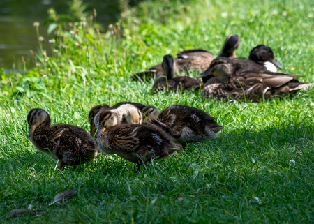 City wild ducks - duck family sleeping in the grass