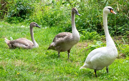 Swan family on the grass by the pond Stock Photo