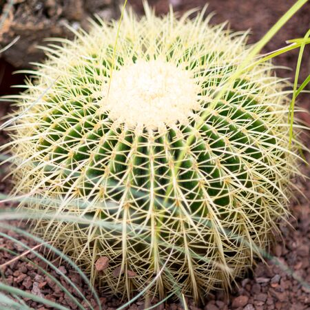 Rounded cactus isolated in the close up with grass Stock Photo