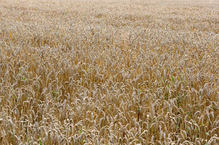 Field with ears of wheat Stock Photo