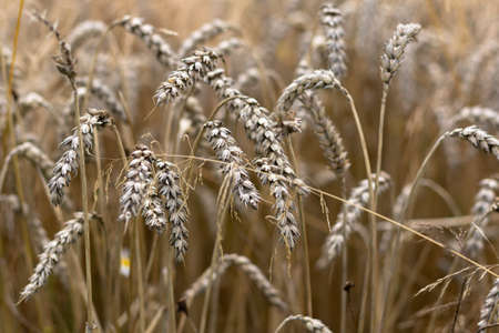 Field with ears of wheat in detail Stock Photo