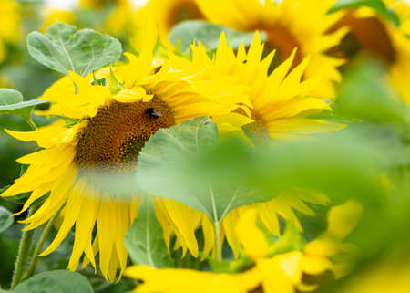 Group of sunflowers behind leaves with working bee Stock Photo