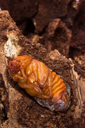 chrysalis of rhinoceros  photo