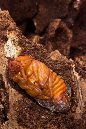 wigglers: chrysalis of rhinoceros