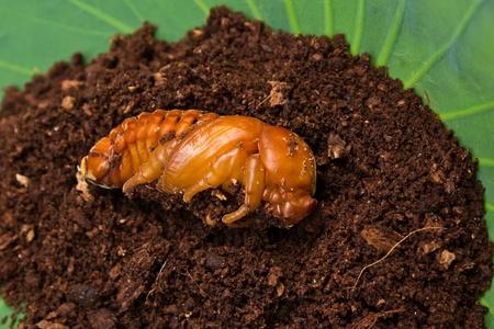 weevils: chrysalis of rhinoceros