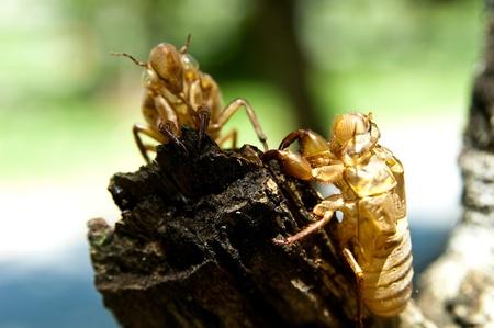 cicada molt  Stock Photo - 11145150