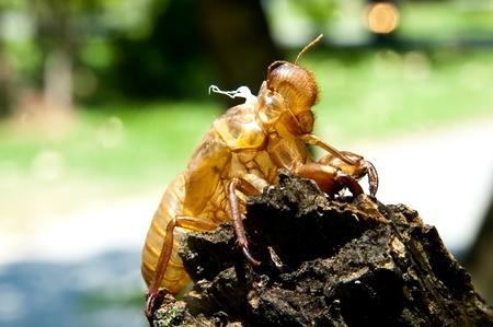 cicada molt  Stock Photo - 11145286