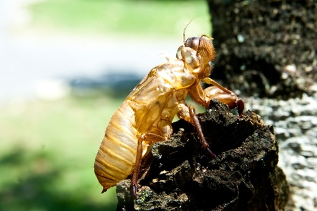 cicada molt  Stock Photo - 11145288