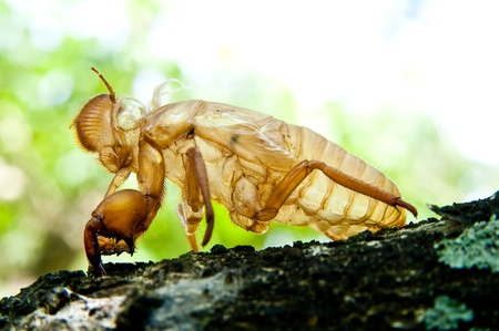 cicada molt  Stock Photo - 11145145