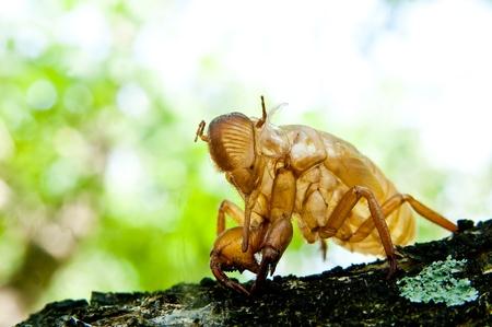 cicada molt Stock Photo - 11145133
