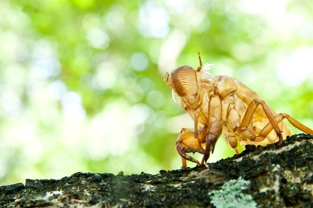 cicada molt  Stock Photo - 11145173