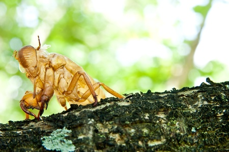 cicada molt  Stock Photo - 11145260