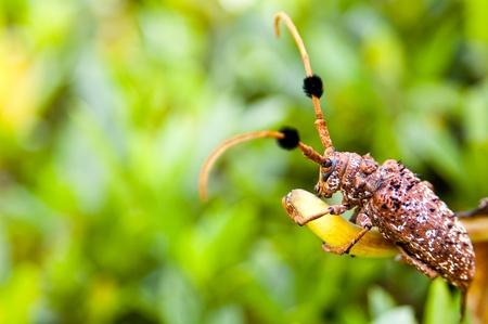Aristobia horridula (family Cerambycidae),phuket thailand  Stock Photo - 11145142