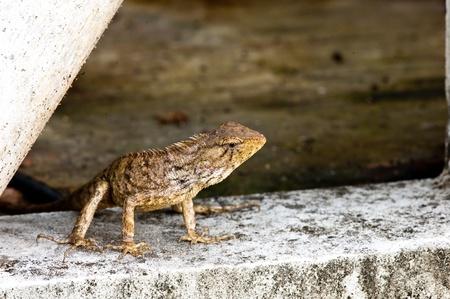 tree lizard ,phuket thailand  Stock Photo - 11145525