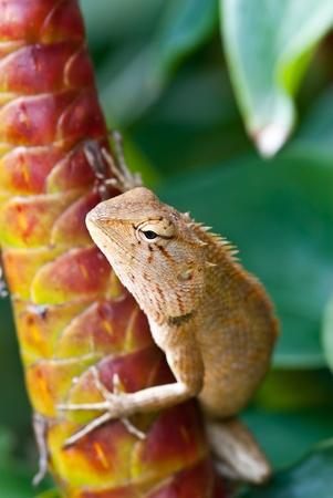 species of creeper: tree lizard ,phuket thailand