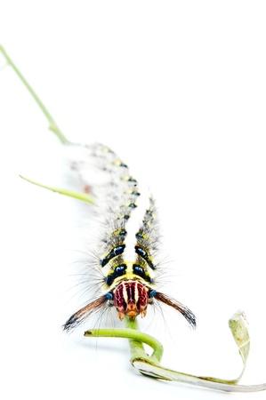 Roseapple Caterpillar Stock Photo - 13526223