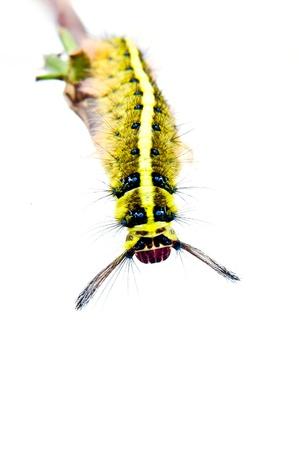 Roseapple Caterpillar photo