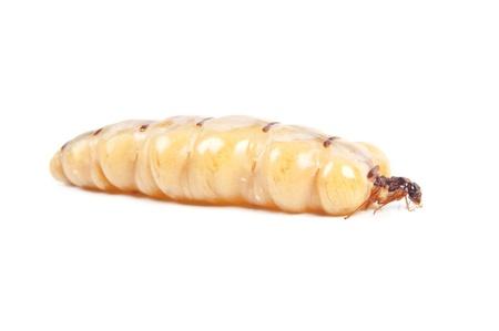 Reine termite