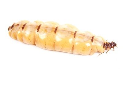 Queen termite Stock Photo